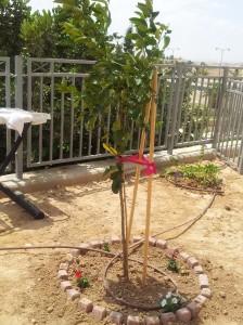 Zitronenbaum Aug-13